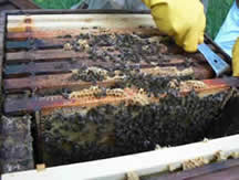 Beekeeping for Beginners with Neil Cruickshank - 16 hrs weekend course